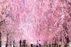 喜多方(日中線しだれ桜)